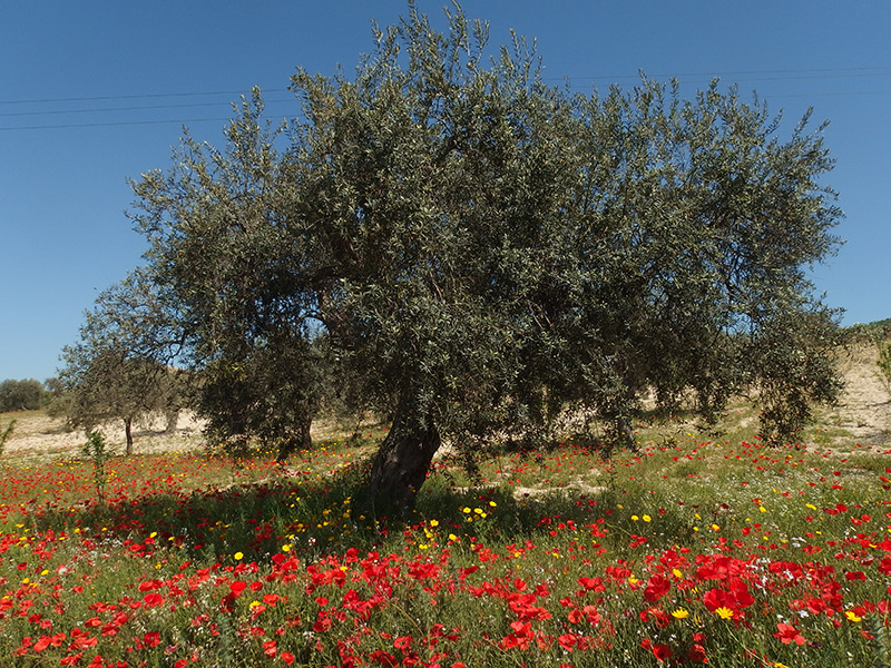 Olivenbaum-bei-Ragusa